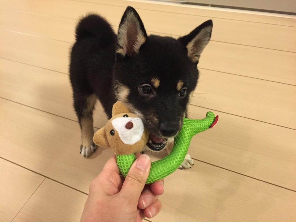 犬 歯がかゆい おもちゃ