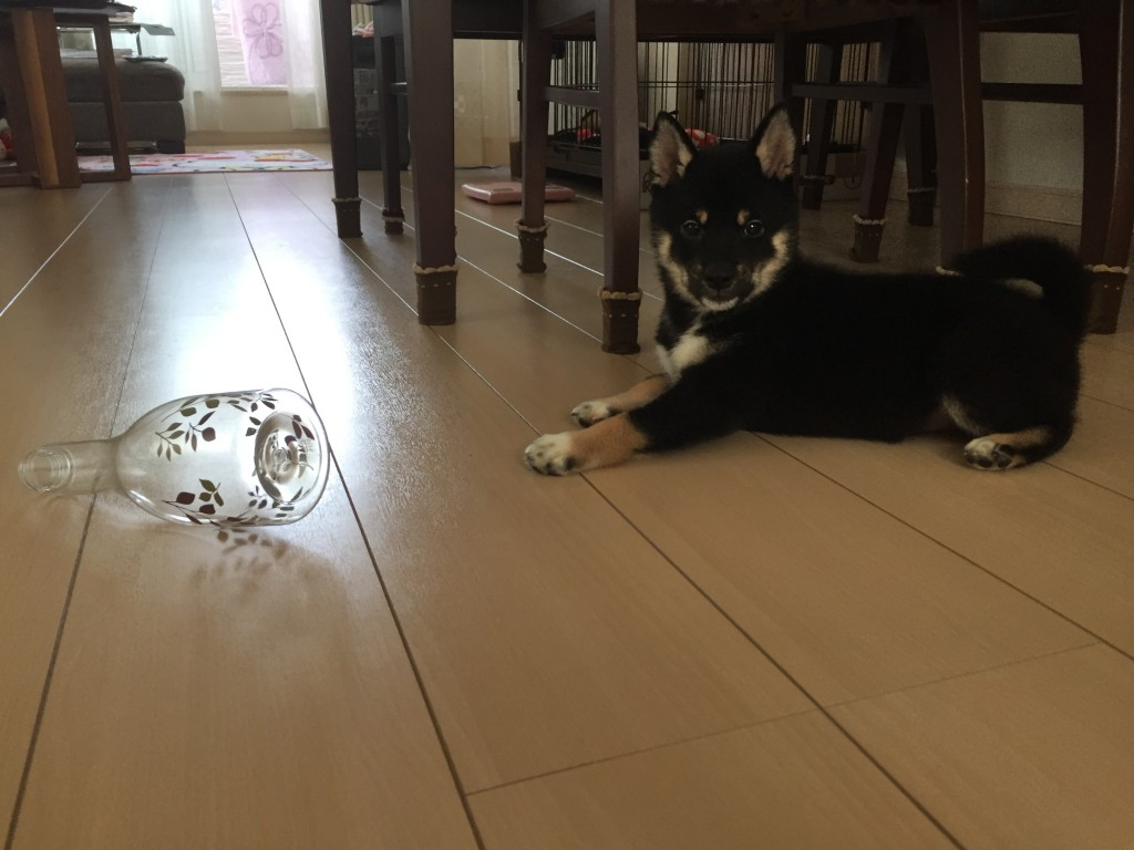 黒豆柴犬 トリガーボトル 生後2ヶ月半