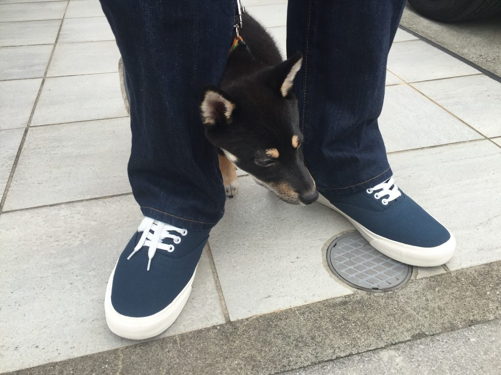 黒豆柴犬 うめ太 初めての散歩