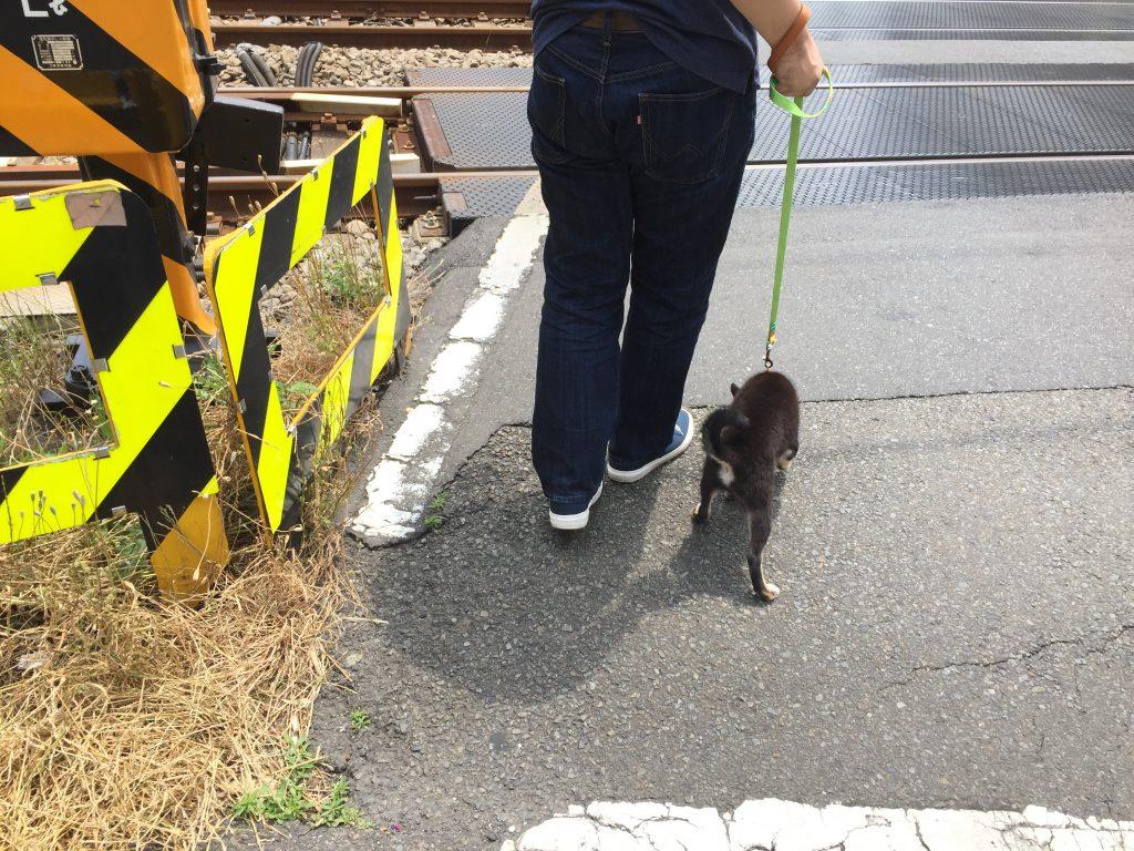 黒豆柴犬 うめ太 川崎大師 散歩