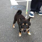 黒豆柴犬 うめ太 自宅周辺を散歩する(4回目)🐾