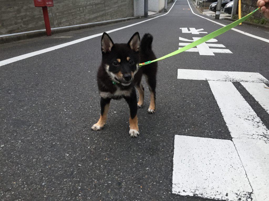 黒豆柴犬 うめ太 生後4ヶ月 散歩