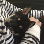 黒豆柴犬 うめ太 約1ヶ月前の可愛い寝顔特集(^O^)