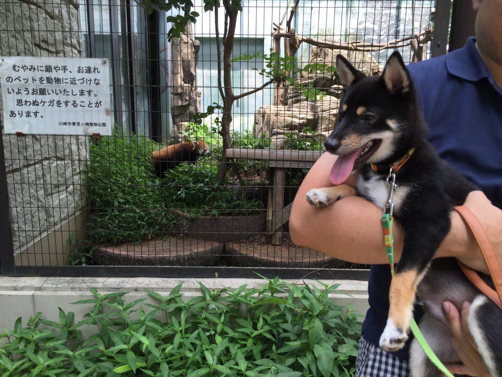 豆柴犬 うめ太 生後5ヶ月 夢見ケ崎動物公園