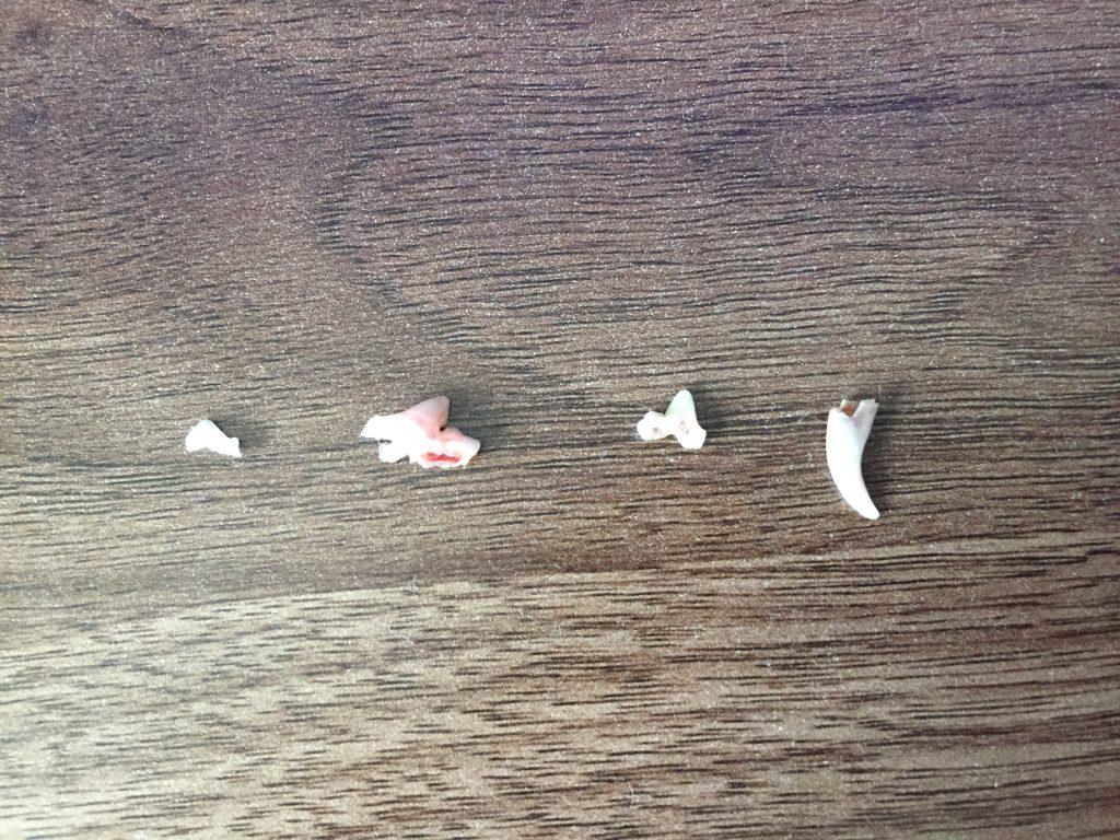 黒豆柴犬 うめ太 生後5ヶ月半 歯が抜ける 出血