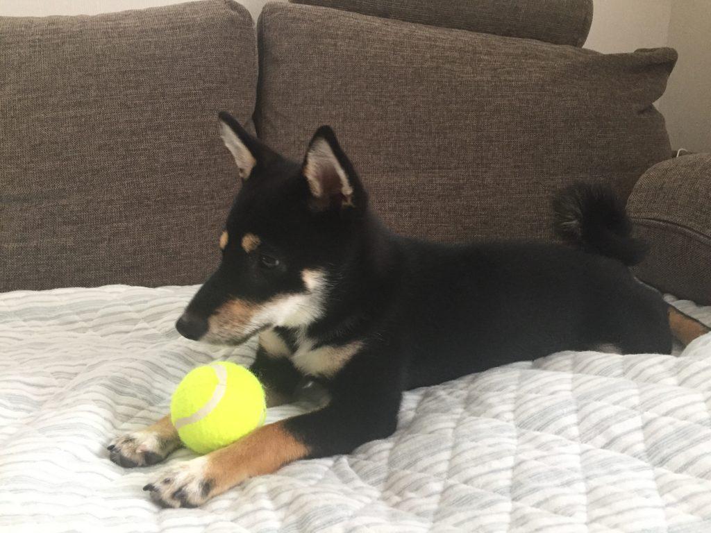 黒豆柴犬 うめ太 生後6ヶ月 遊ぶ テニスボール