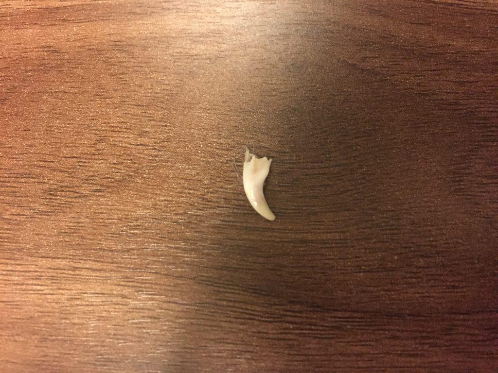 黒豆柴犬 うめ太 生後6ヶ月 歯が抜ける 二列