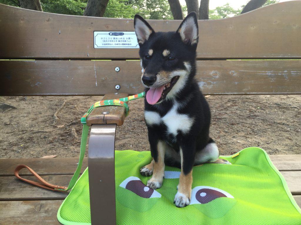 黒豆柴犬 うめ太 生後6ヶ月 大師公園