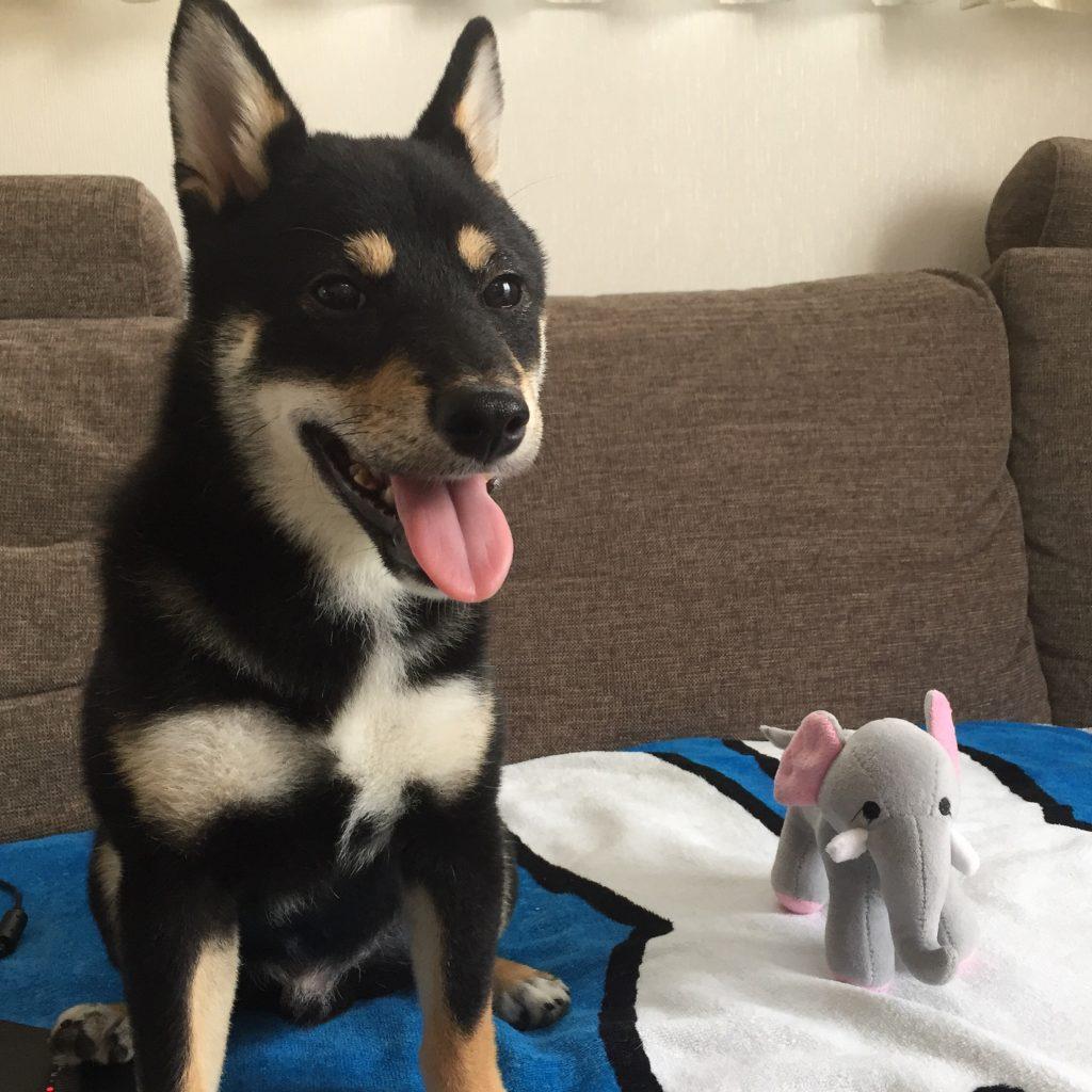 黒豆柴犬 うめ太 生後6ヶ月 ゾウ