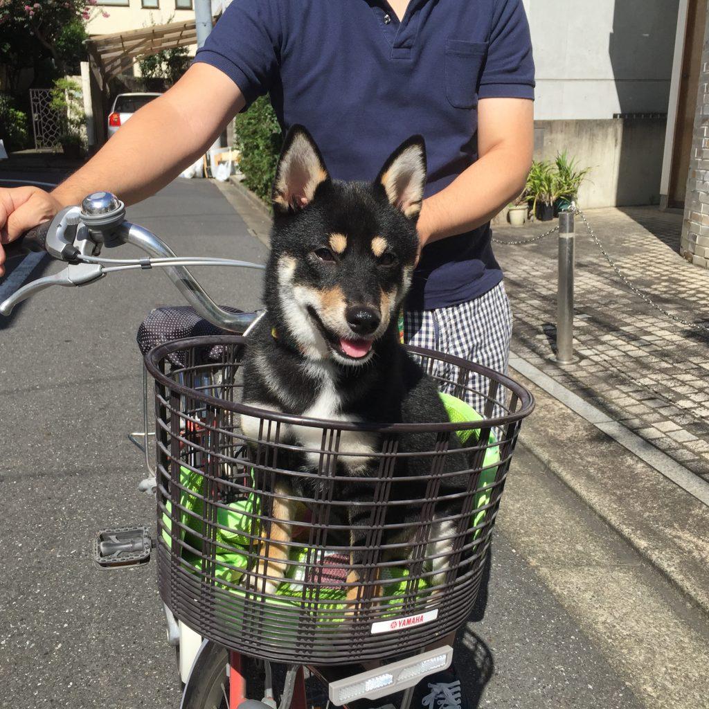 豆柴犬 うめ太 生後6ヶ月 自転車の