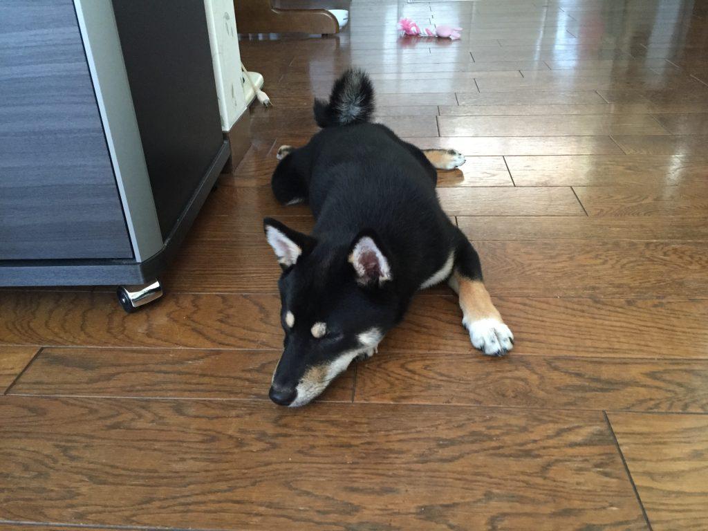 黒豆柴犬 うめ太 生後6ヶ月 カエルポーズ