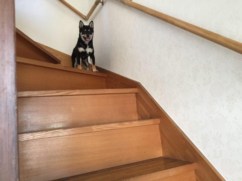 黒豆柴犬 うめ太 生後6ヶ月 階段