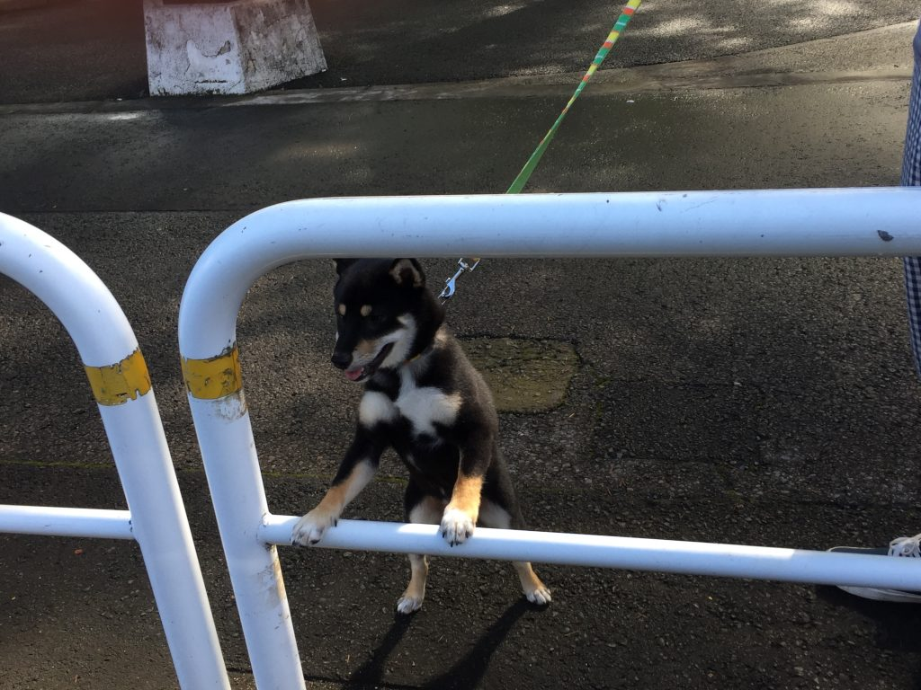 黒豆柴犬 うめ太 生後6ヶ月 世田谷公園
