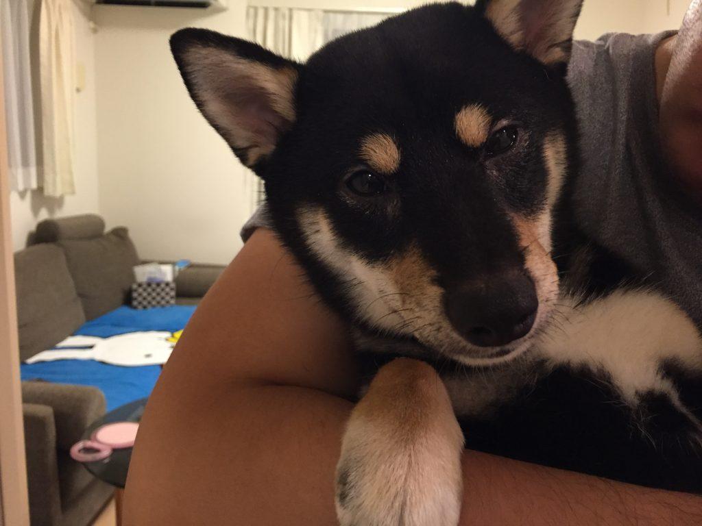 黒豆柴犬 うめ太 生後7ヶ月 去勢手術