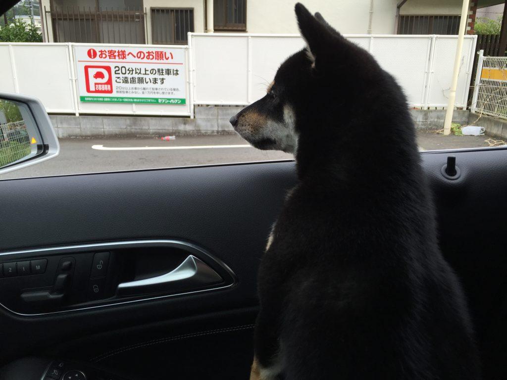 黒豆柴犬 うめ太 三井アウトレットパーク 多摩南大沢