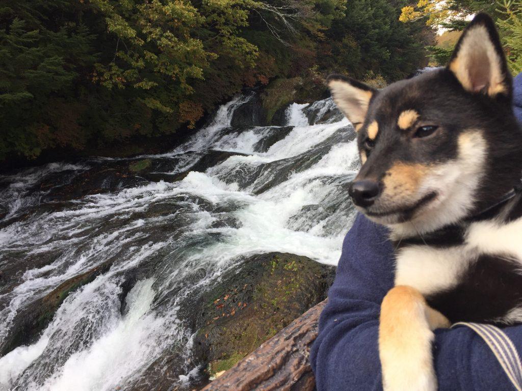 黒豆柴犬 うめ太 生後8ヶ月半 竜頭ノ滝