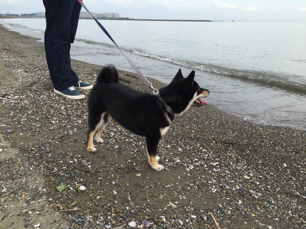 黒豆柴犬 うめ太 生後8ヶ月 葛西臨海公園