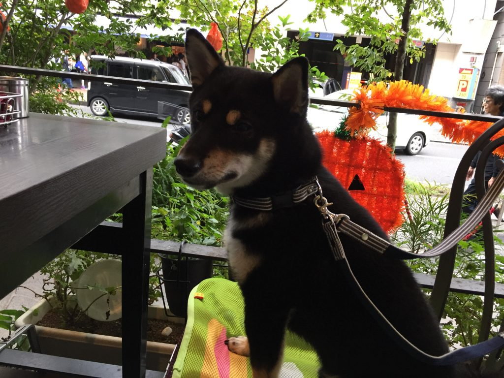 黒豆柴犬 うめ太 生後8ヶ月半 新横浜ラントラクト カフェ&ダイニング