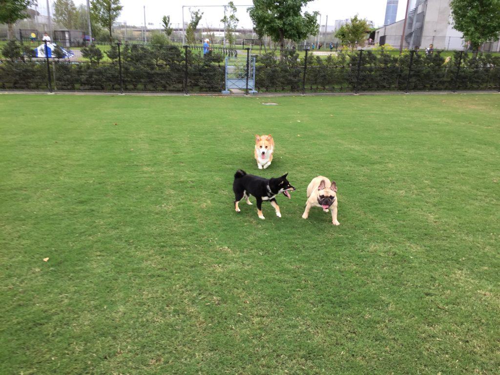 黒豆柴犬 うめ太 生後8ヶ月半 新横浜公園ドッグラン