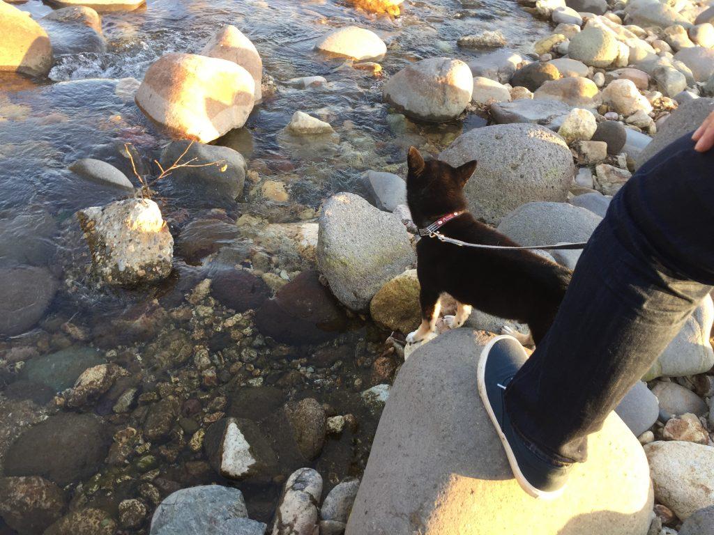 黒豆柴犬 うめ太 生後8ヶ月半 鬼怒川 かご岩温泉
