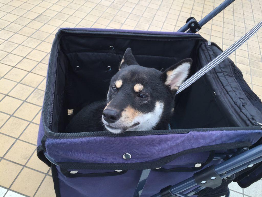 黒豆柴犬 うめ太 生後8ヶ月半 東武ワールドスクウェア