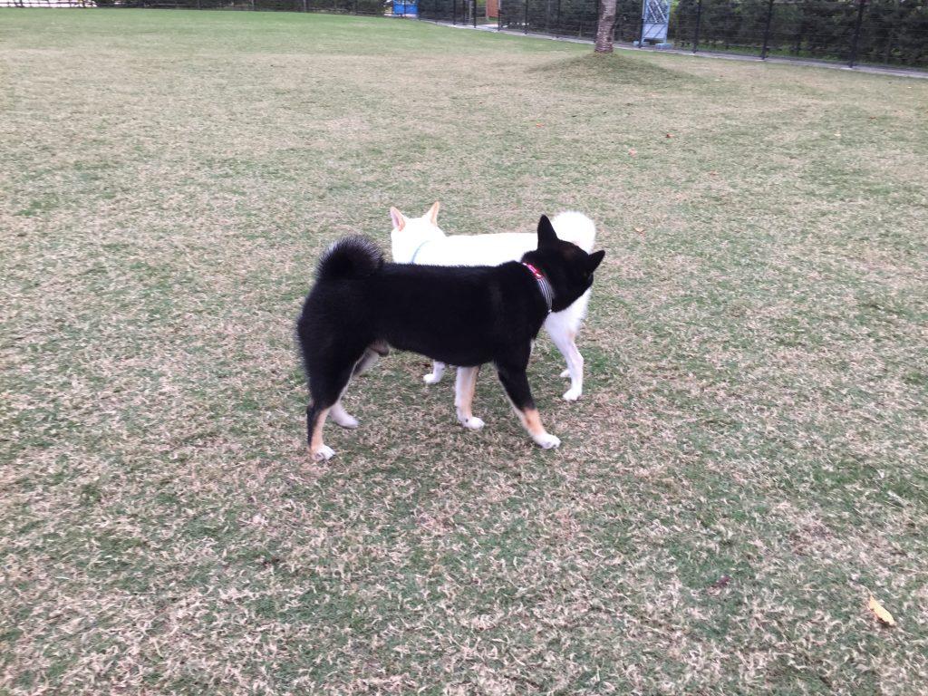黒豆柴犬 うめ太 生後9ヶ月 去勢手術後2ヶ月