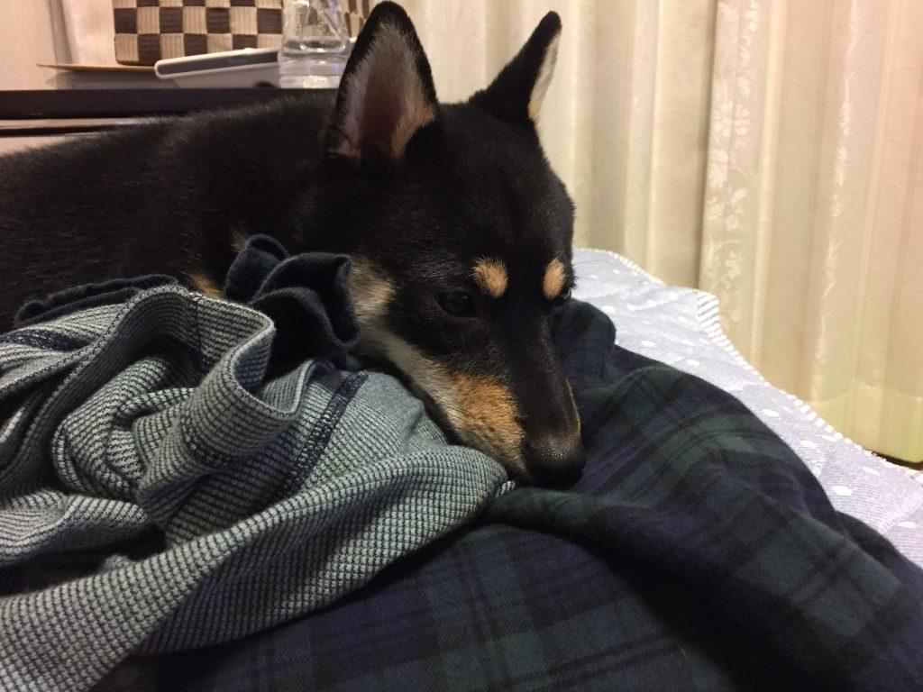 黒豆柴犬 うめ太 生後9ヶ月 減感作療法