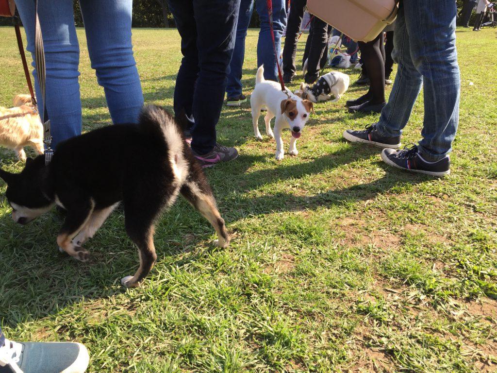 黒豆柴犬 うめ太 生後9ヶ月 本牧山頂公園ドッグフェスタ2016