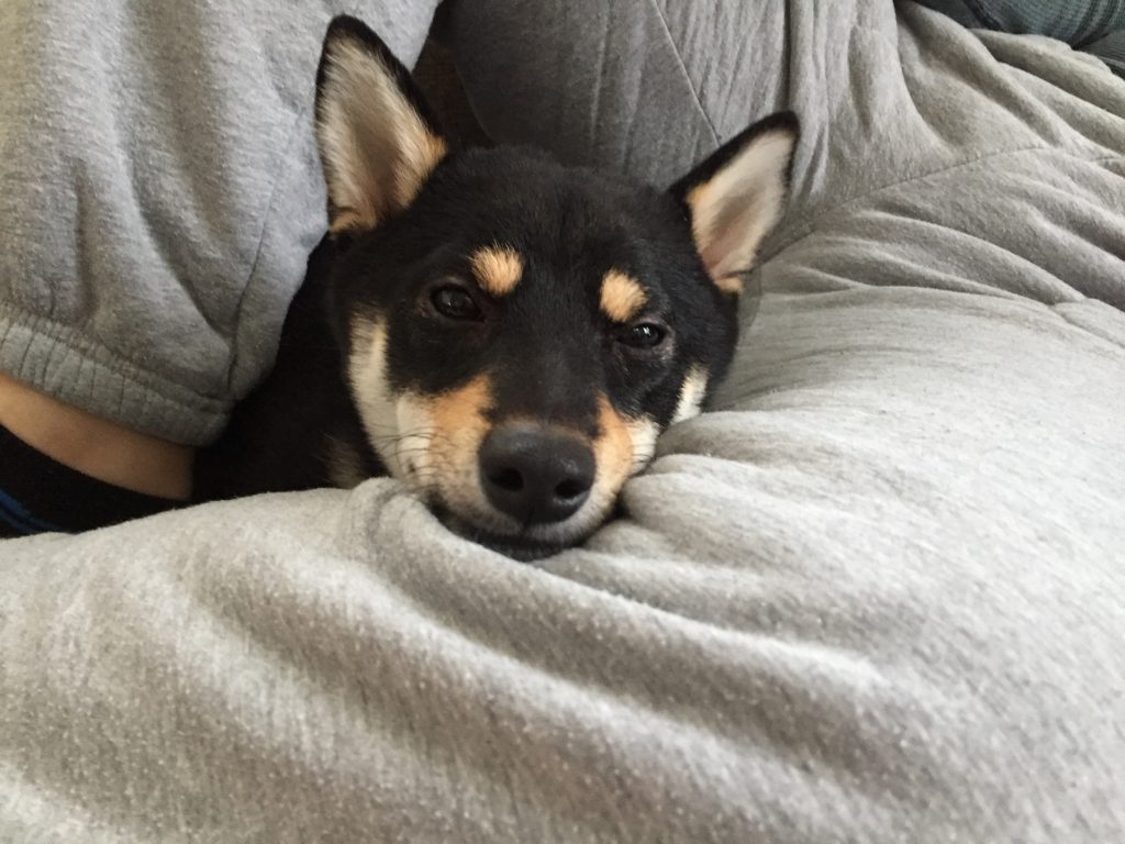 黒豆柴犬 うめ太 生後10ヶ月 スクラルファート 嘔吐