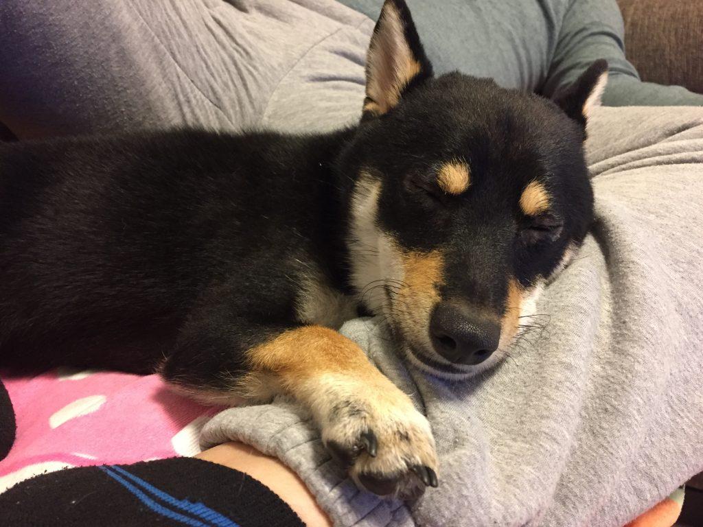黒豆柴犬 うめ太 生後10ヶ月 眠る