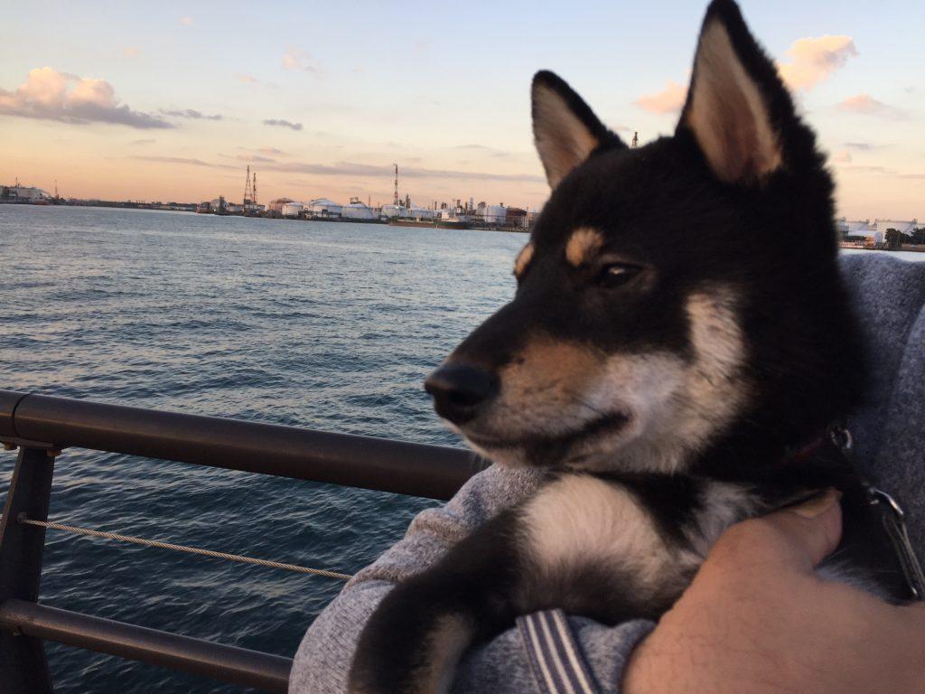 黒豆柴犬 うめ太 生後10ヶ月 東扇島東公園ドッグラン