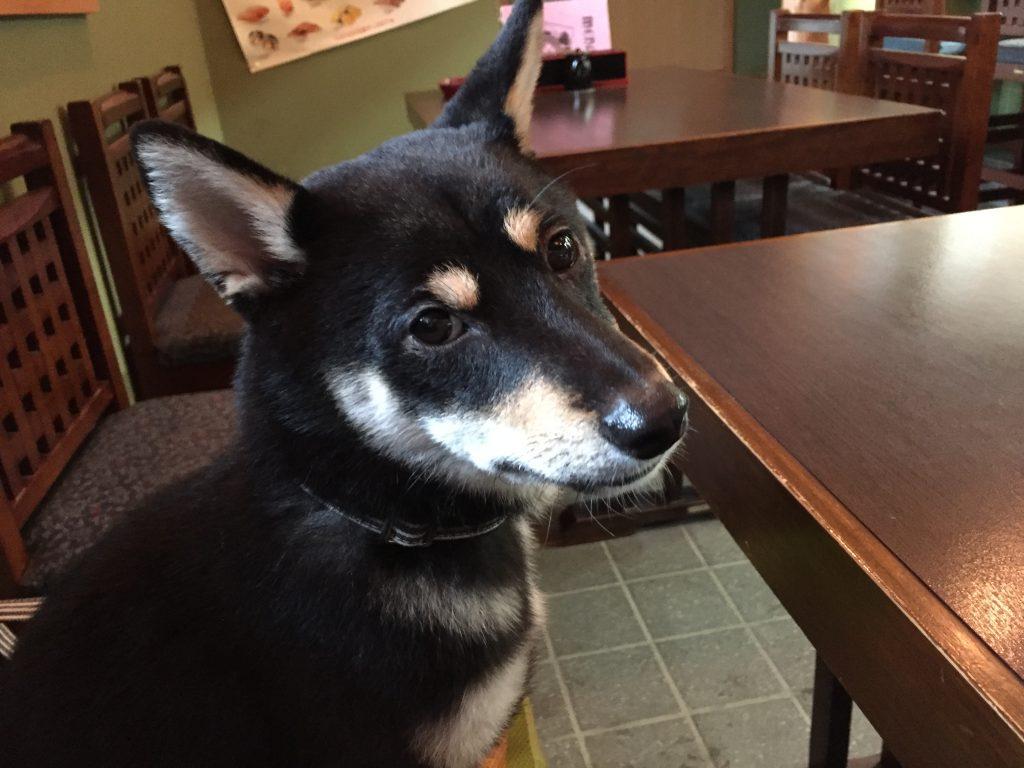 黒豆柴犬 うめ太 生後10ヶ月 ペット可 寿司屋