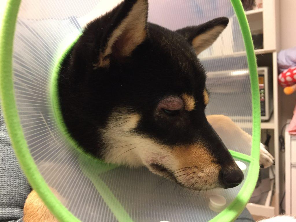 黒豆柴犬 うめ太 生後10ヶ月半 口腔内洗浄液 目が腫れる