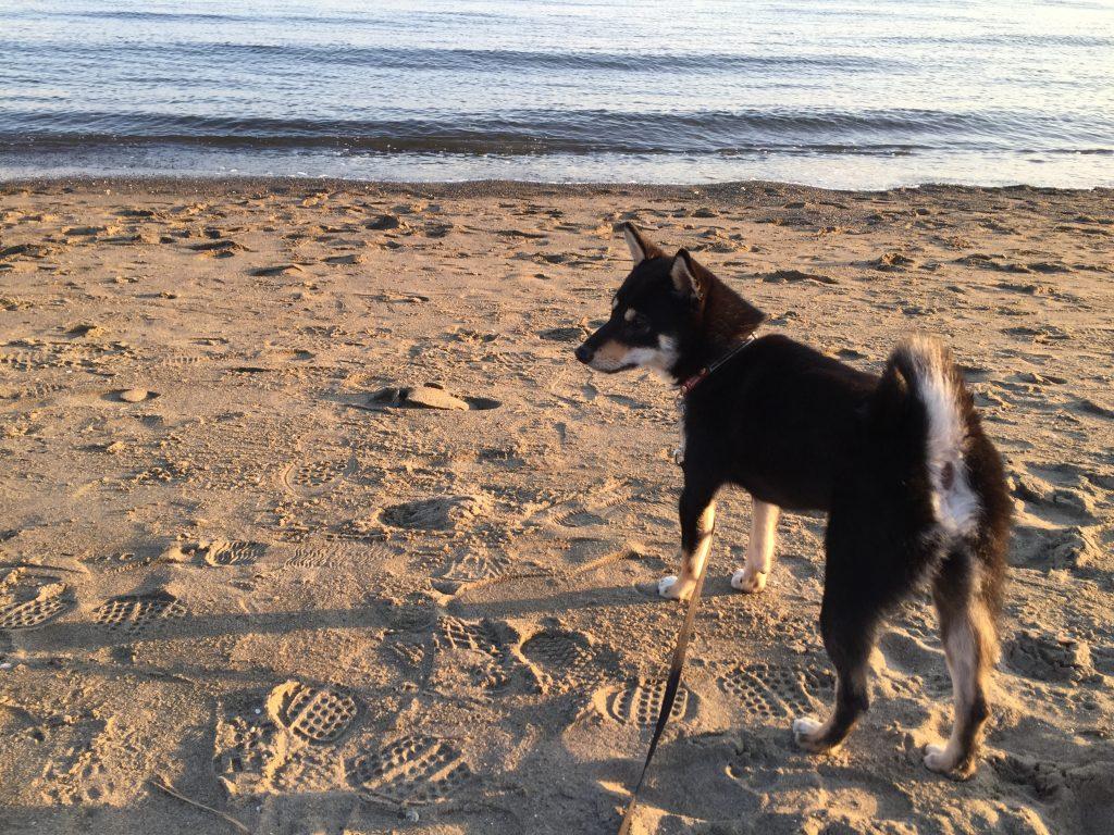黒豆柴犬 うめ太 生後10ヶ月半 城南島海浜公園