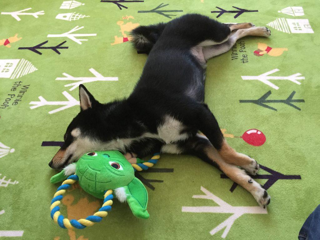 黒豆柴犬 うめ太 生後11ヶ月半 ヨーダ 眠る