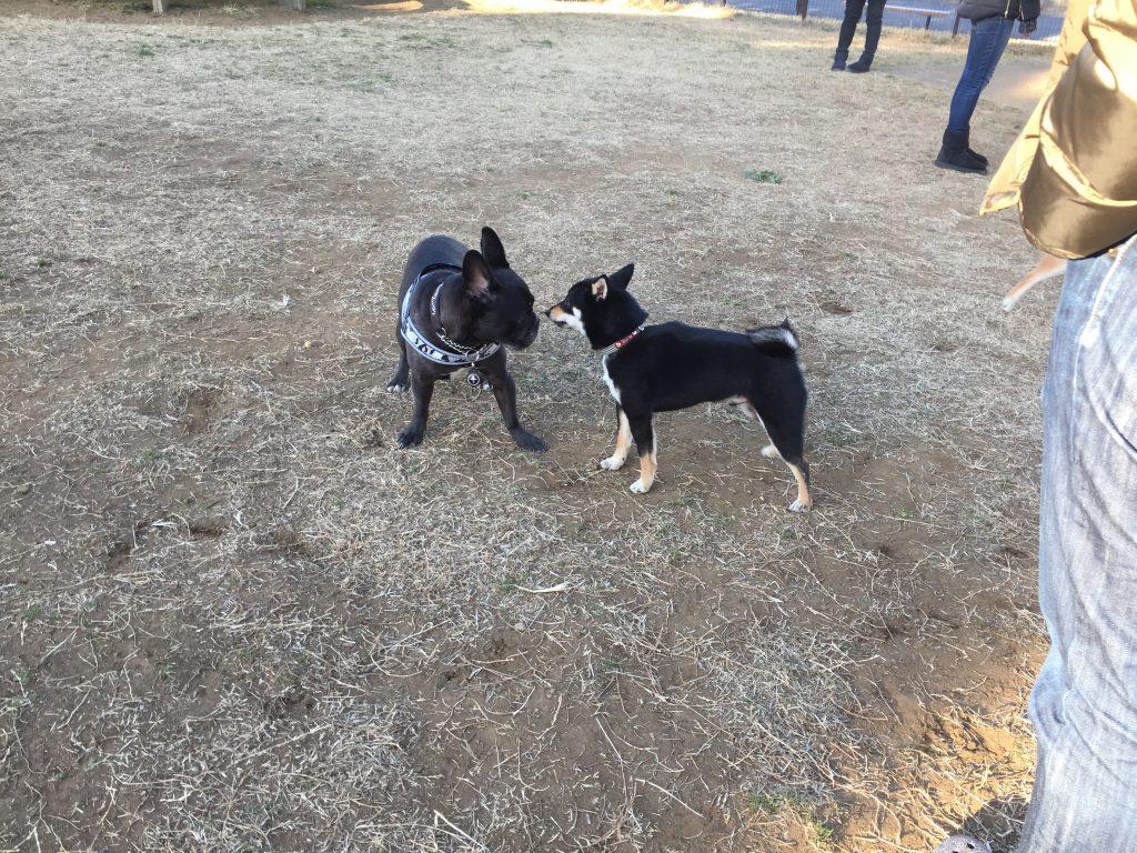 黒豆柴犬 うめ太 1歳 城南島海浜公園