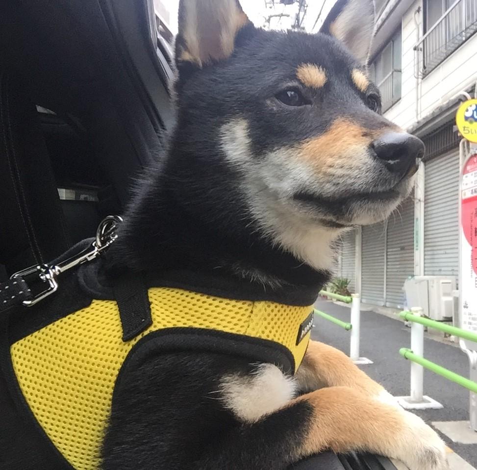 黒豆柴犬 うめ太 1歳 お台場ヴィーナスフォート