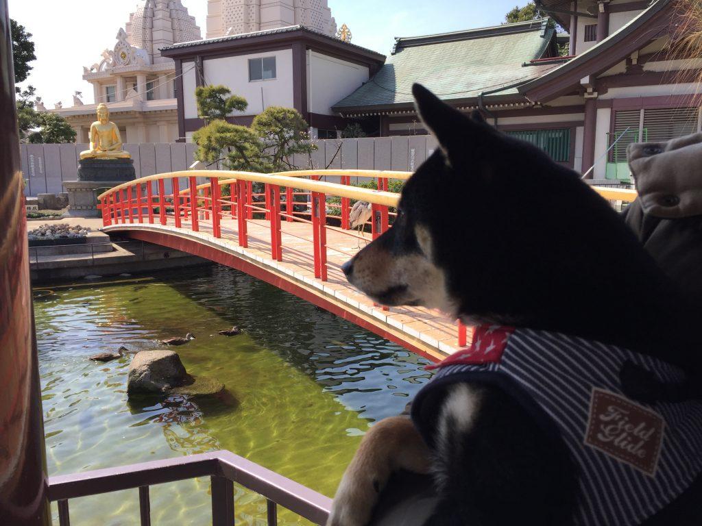 黒豆柴犬 うめ太 1歳 川崎大師