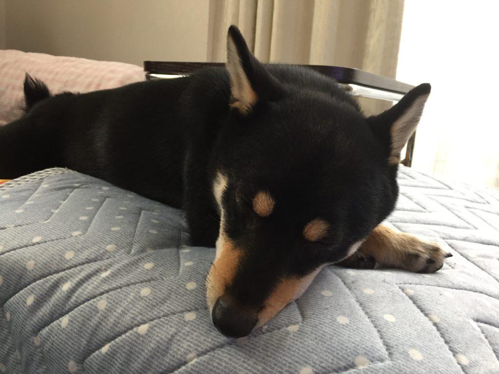 黒豆柴犬 うめ太 1歳 寝顔