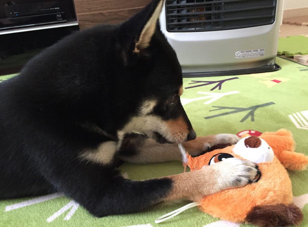 黒豆柴犬 うめ太 1歳 おもちゃ