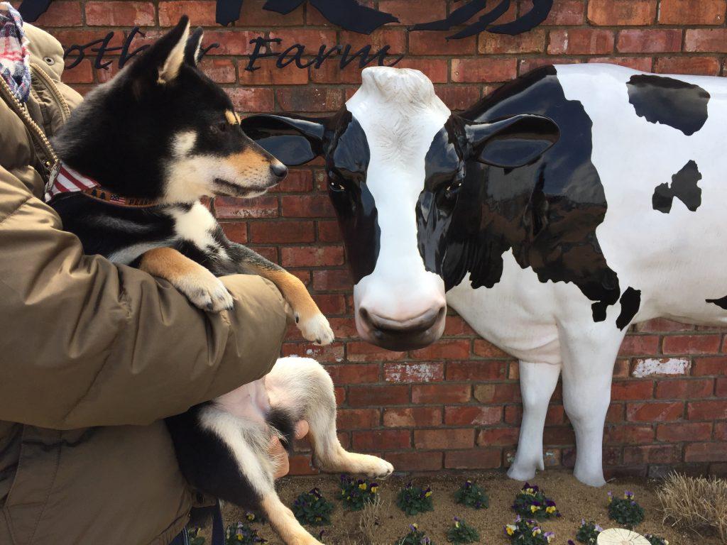 黒豆柴犬 うめ太 1歳 マザー牧場
