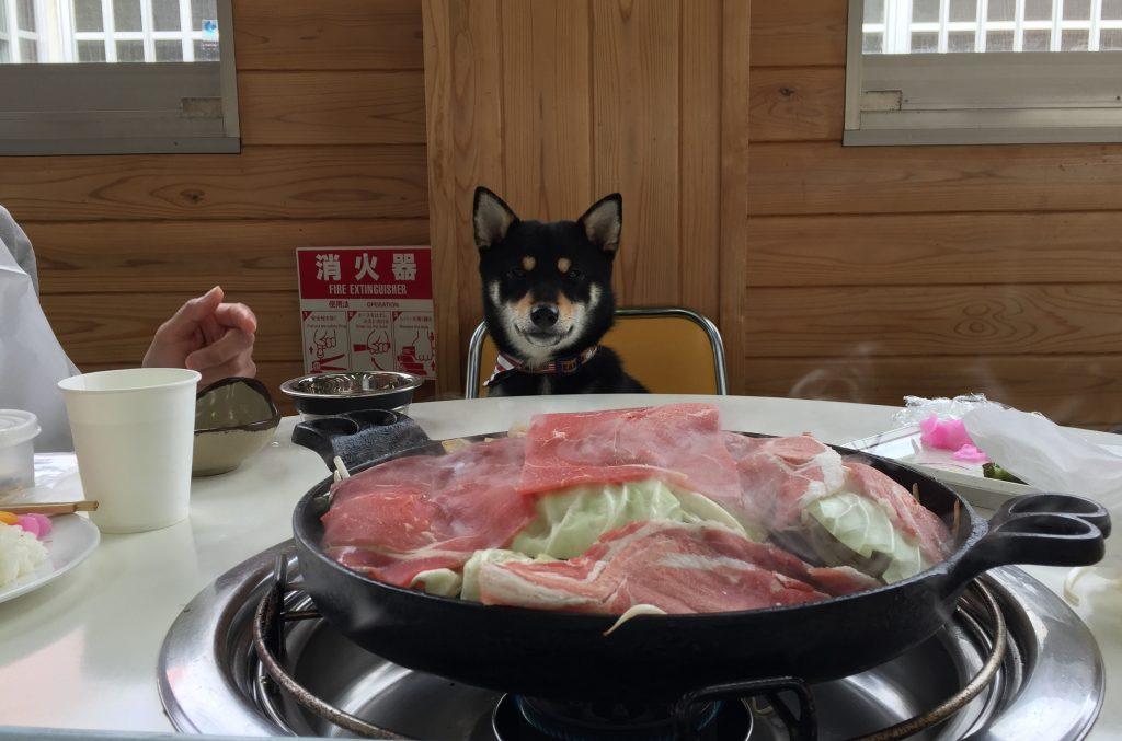 黒豆柴犬 うめ太 1歳 マザー牧場 ジンギスカンガーデンズ
