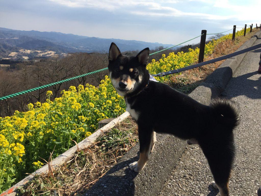 黒豆柴犬 うめ太 1歳 マザー牧場 菜の花