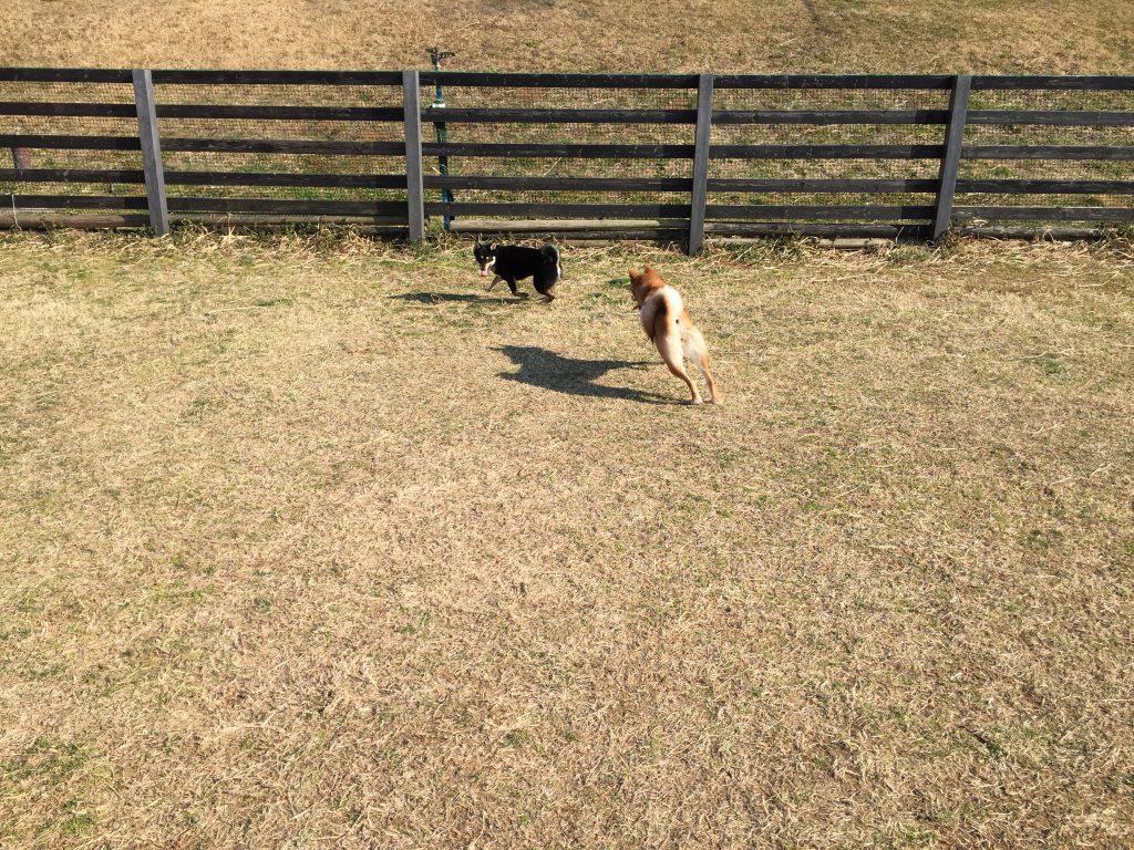 黒豆柴犬 うめ太 1歳 マザー牧場 ドッグラン