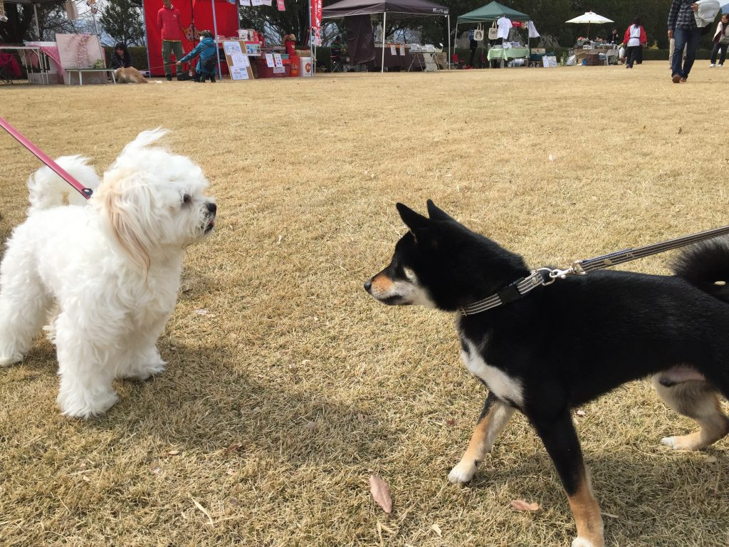 黒豆柴犬 うめ太 1歳 ドッグタイムレース
