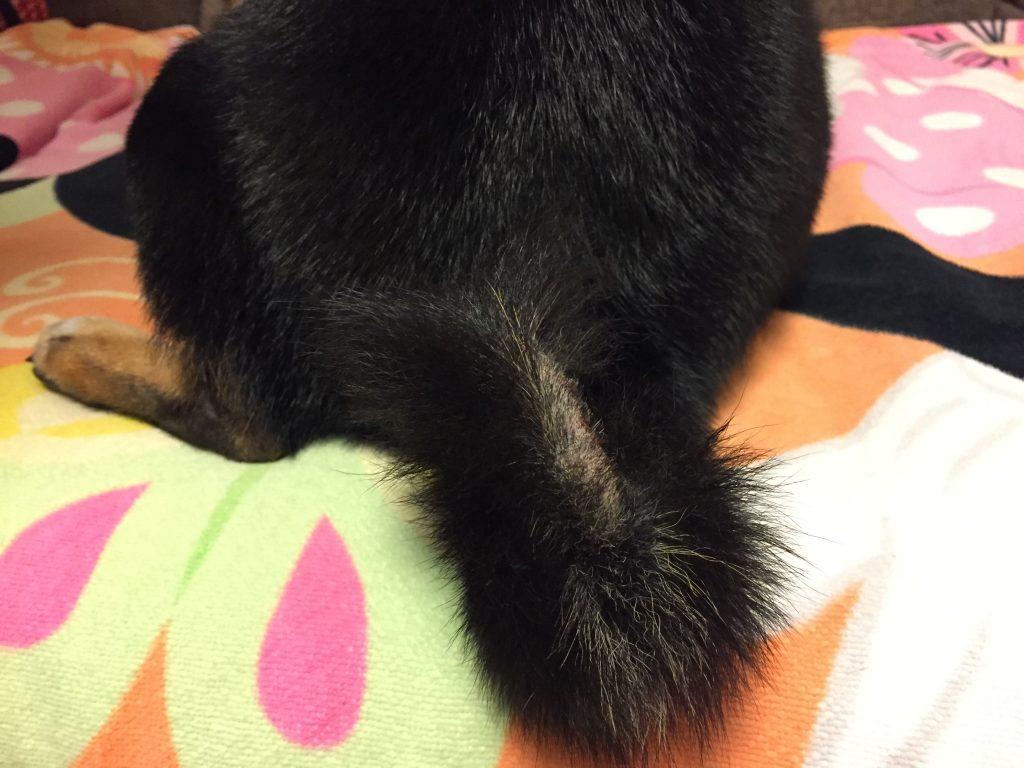 黒豆柴犬 うめ太 1歳 痒み 悪化 アレルギー