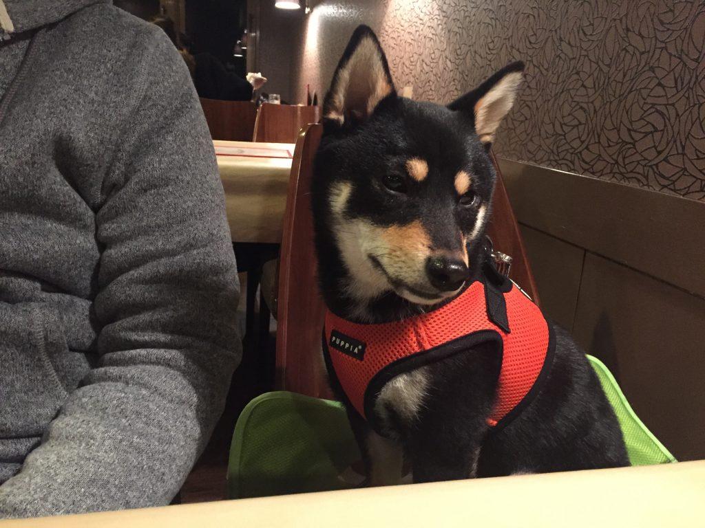 黒豆柴犬 うめ太 1歳 軽井沢