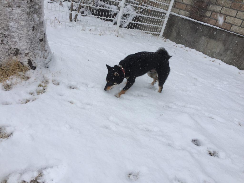 黒豆柴犬 うめ太 1歳 軽井沢 雪
