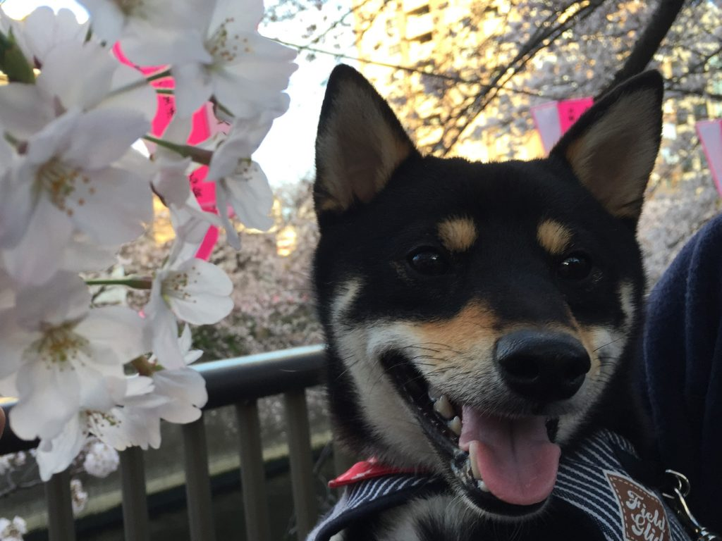 黒豆柴犬 うめ太 1歳2ヶ月 目黒川 桜