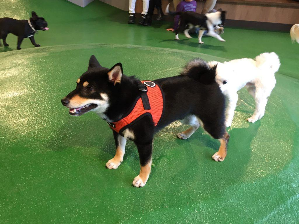 黒豆柴犬 うめ太 1歳2ヶ月 目黒川 室内ドッグラン